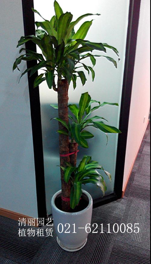 客厅耐阴观赏植物图片