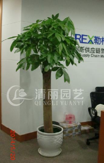 所以发财树经常摆放在前台