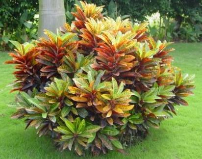 属于大戟科变叶木属,常绿亚灌木或小乔木花卉
