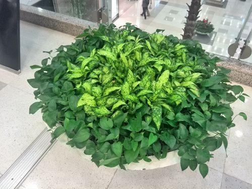 商场常用绿植盆栽组合分享---------------上海植物租赁