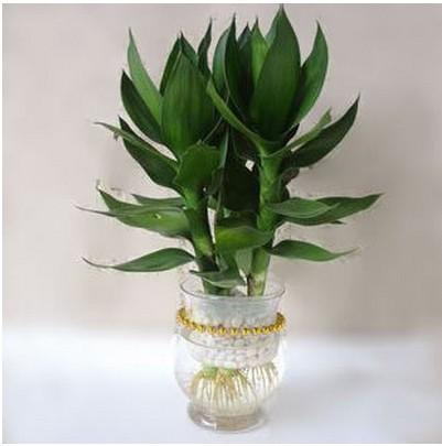 水培富贵竹,上海植物租赁,上海花卉租摆