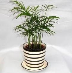 小椰子,上海植物租赁,上海花卉租摆