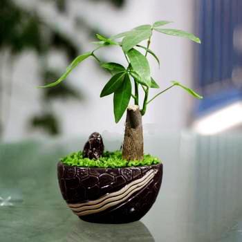 发财树,上海植物租赁,上海花卉租摆