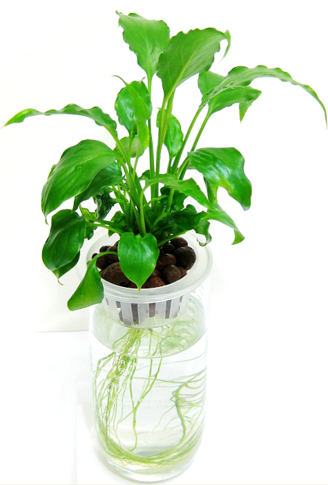 水培白掌,上海植物租赁,上海花卉租摆